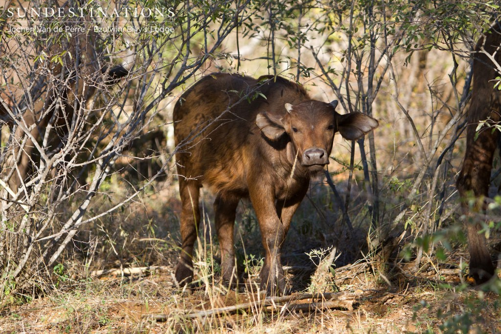 Cape Buffalo Calf