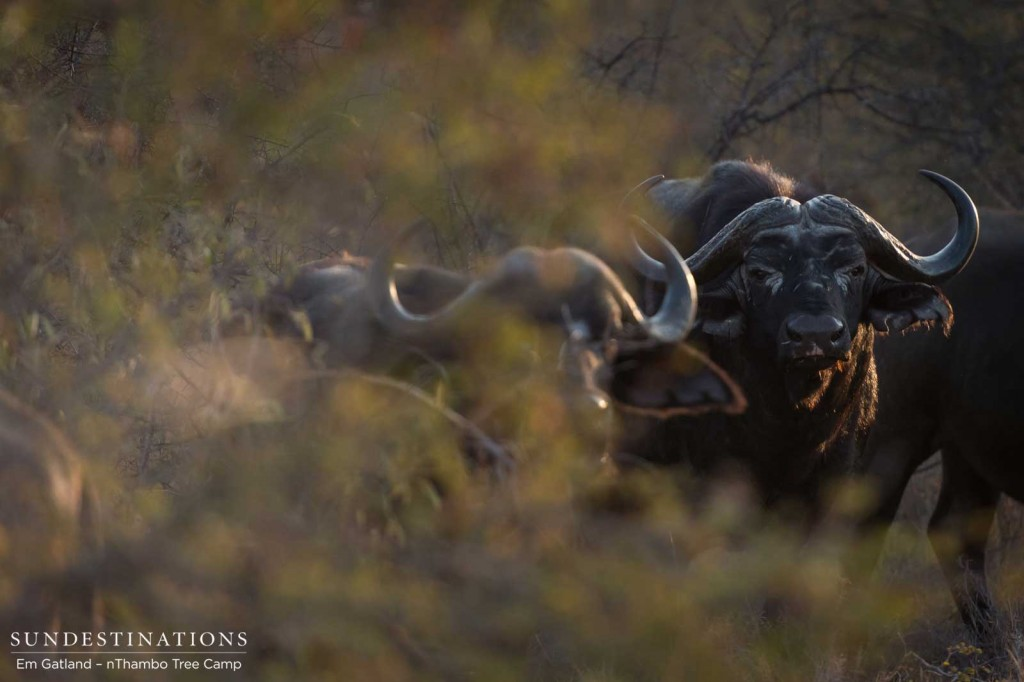 Buffalo through the bush