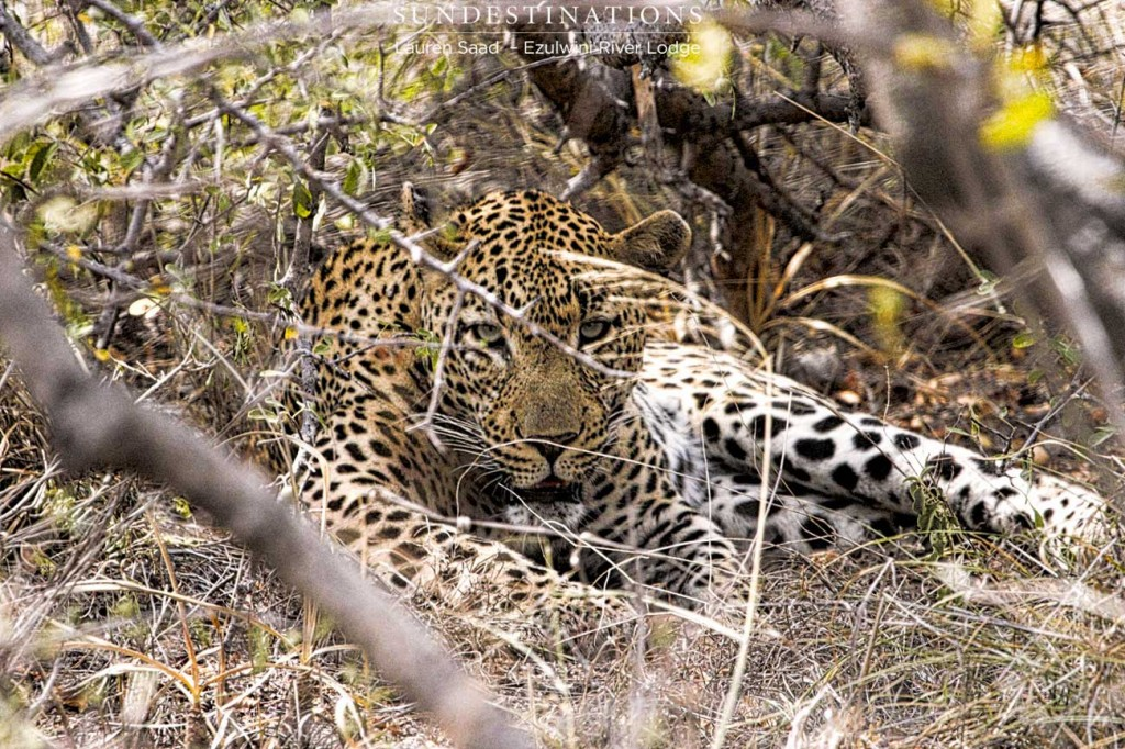 Chavaluthu the leopard