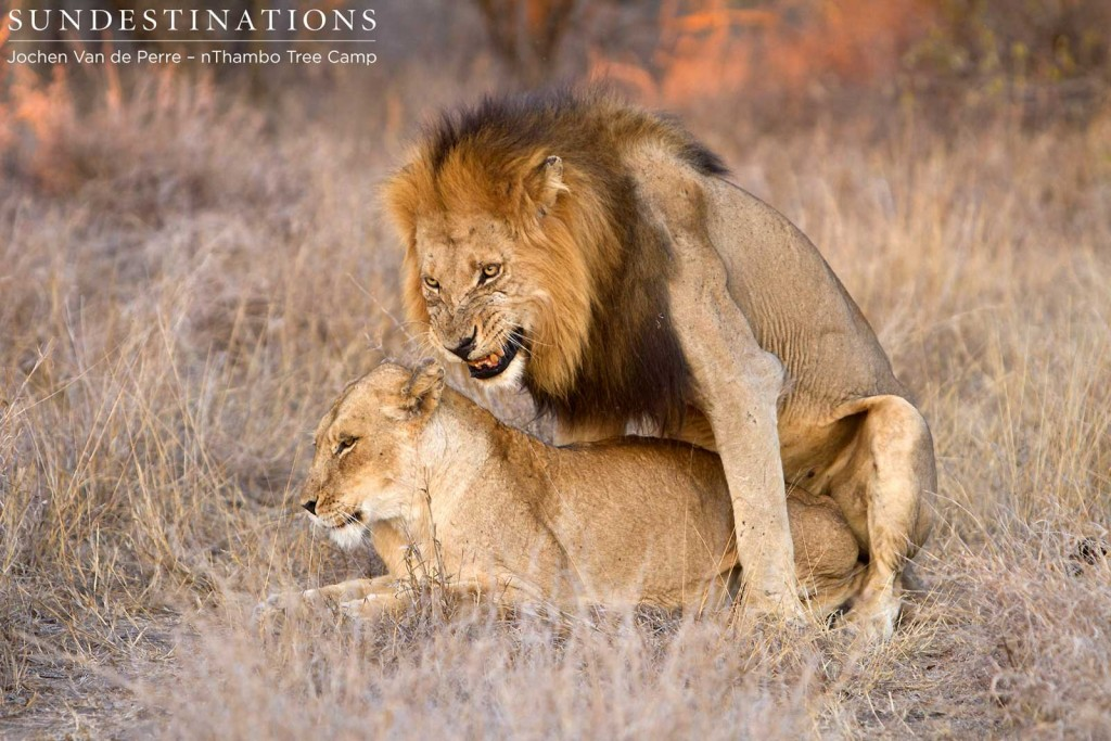 Trilogy male mating with Ross lioness
