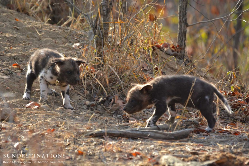 Wild dog pups exploring