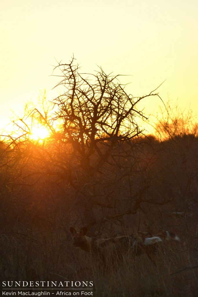 Sun rising on the wild dogs