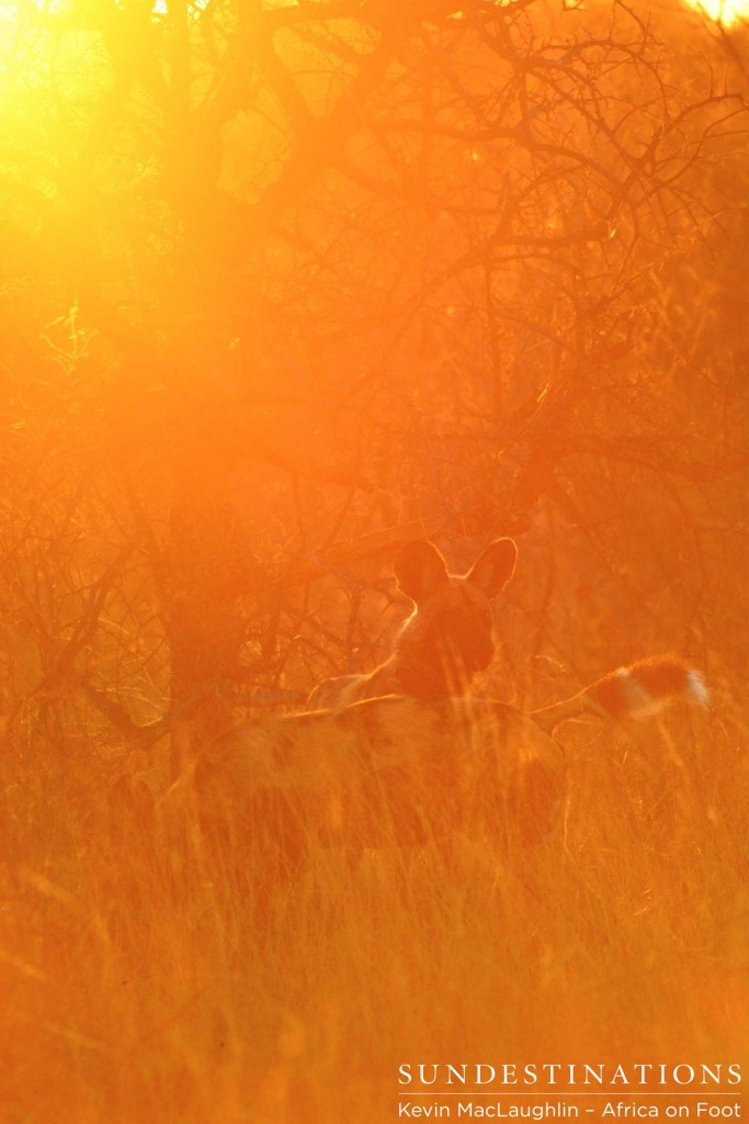 Wild dogs in the morning sun