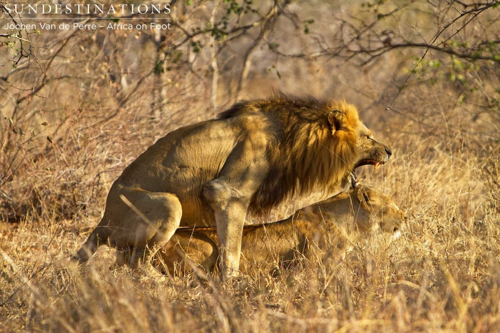 Trilogy male mating with lioness