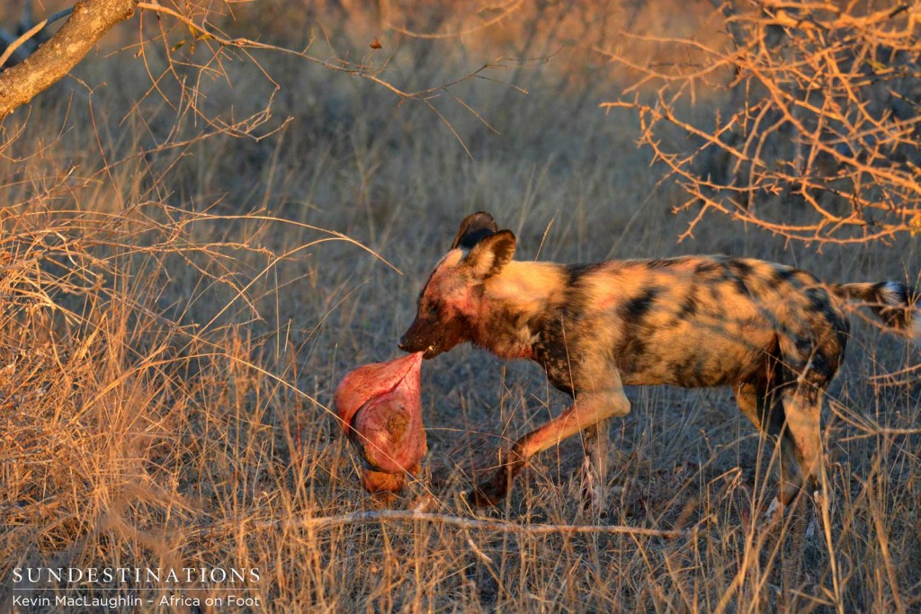 Wild dog carries off a piece of the impala carcass
