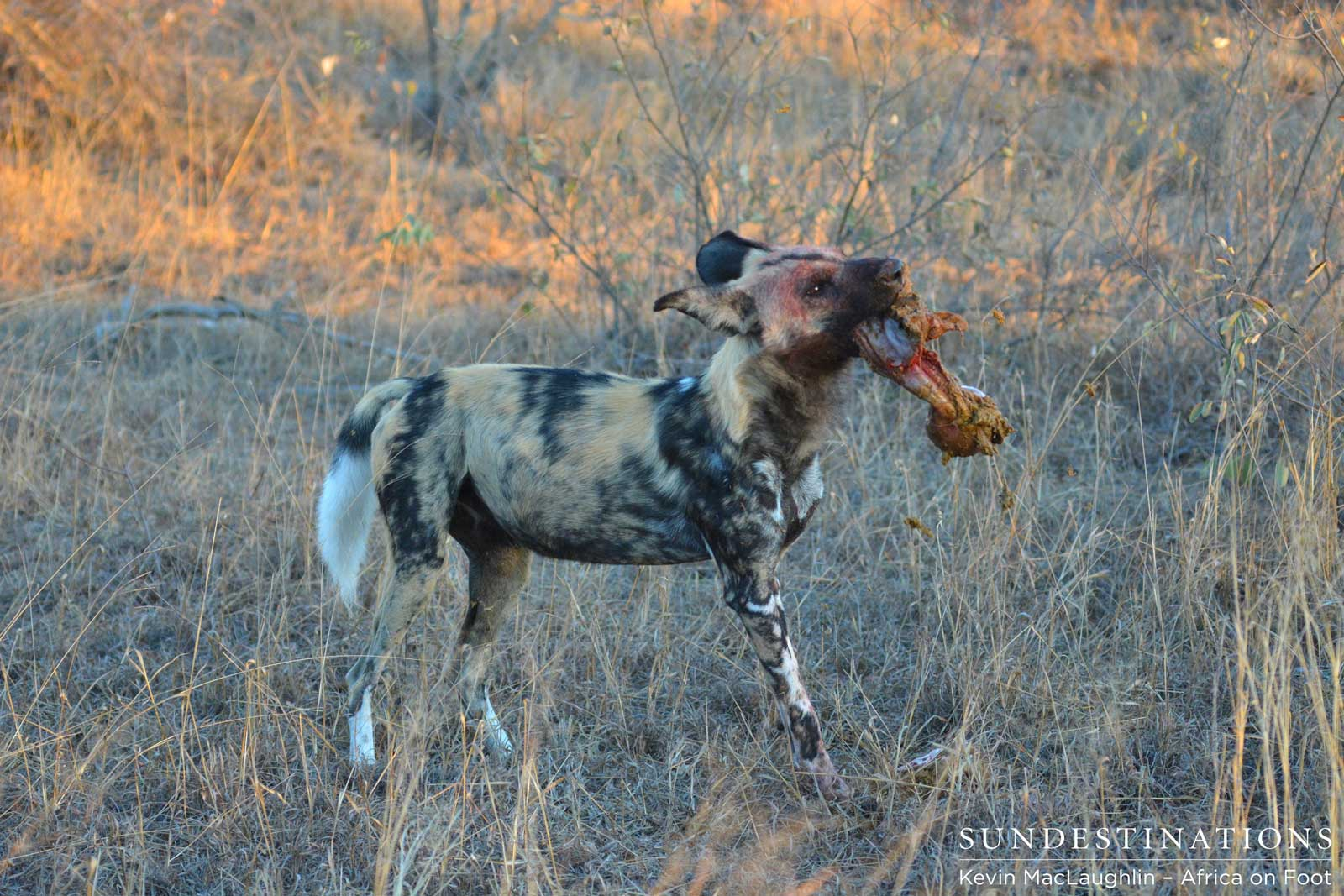 Wild dogs hunt impala in Africa on Foot camp!