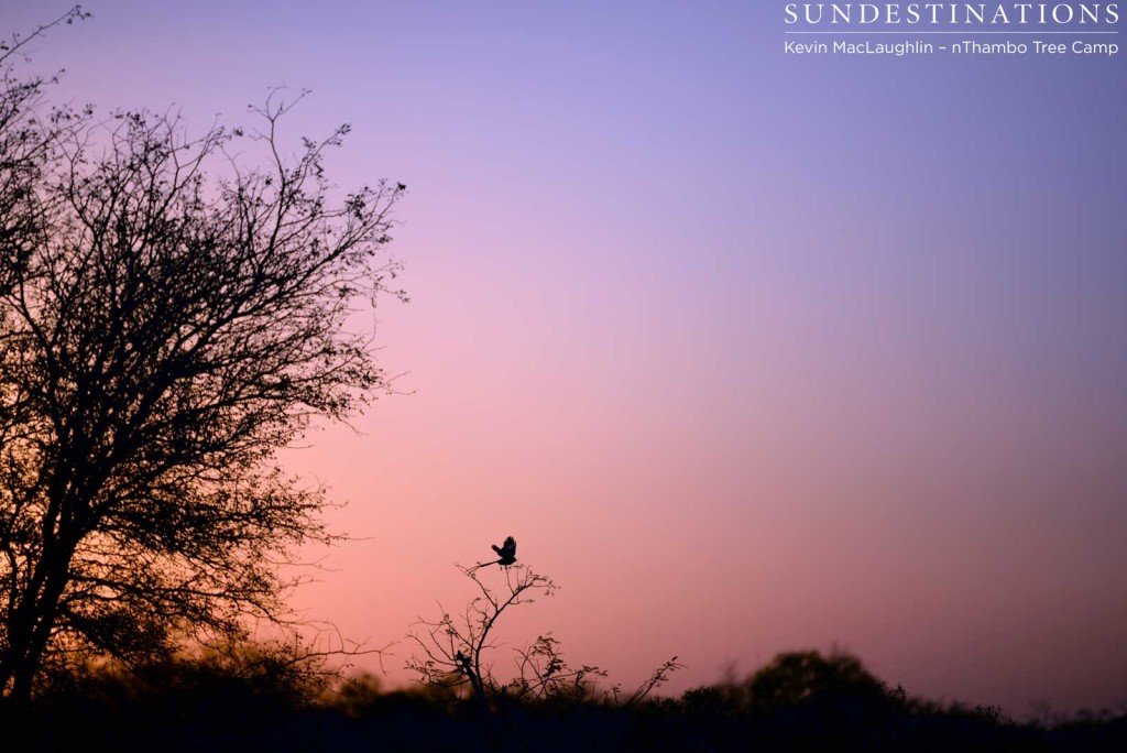 Magpie shrike in the sunset