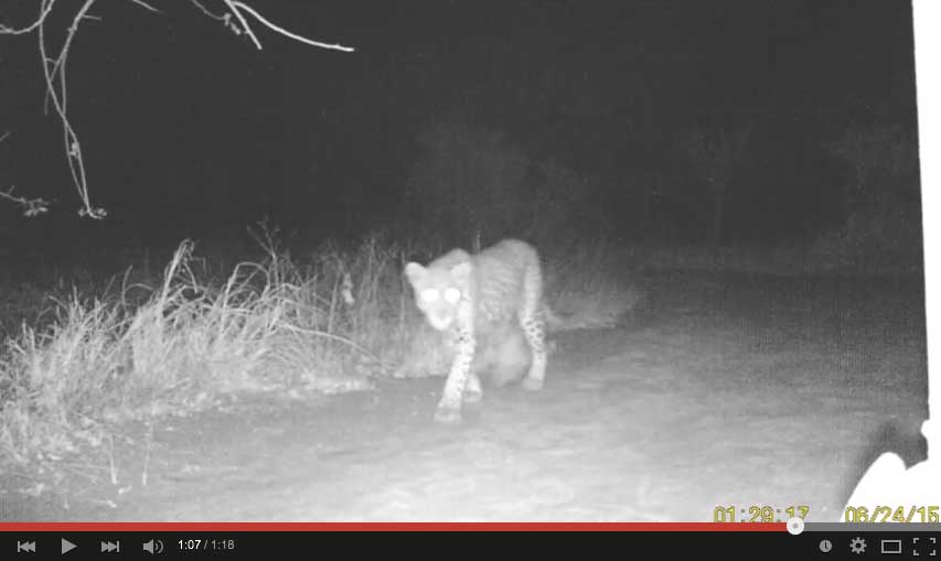 Leopard passing through Africa on Foot at night