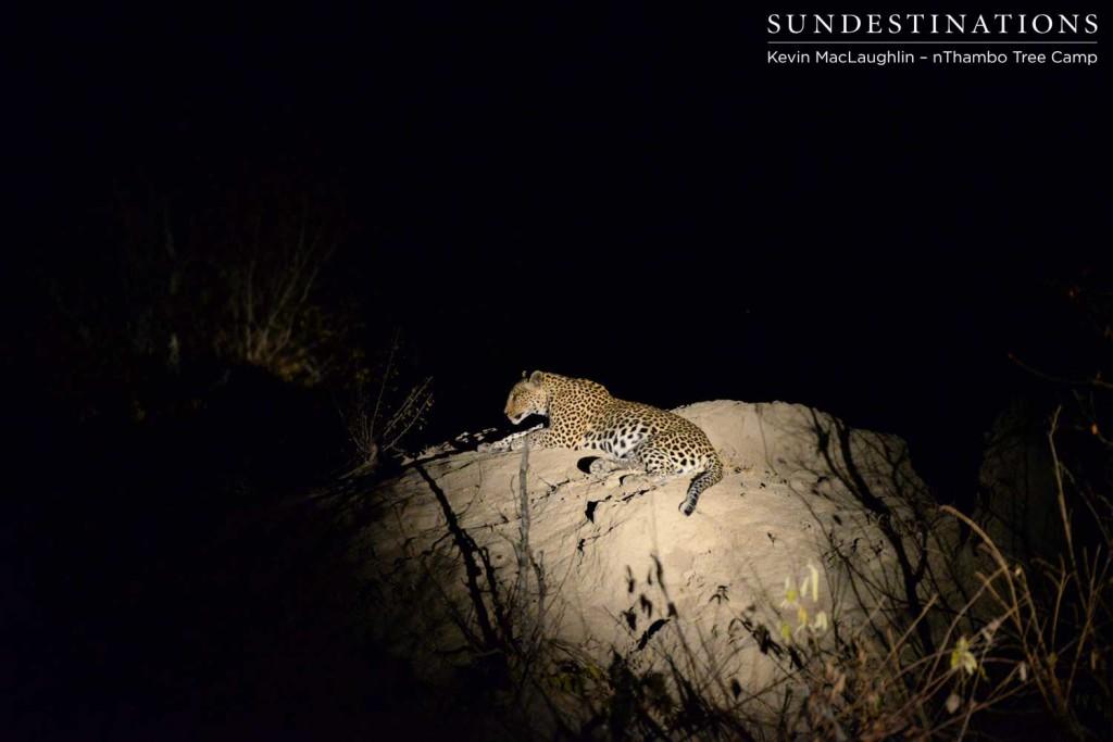 Female leopard resting on termite mound