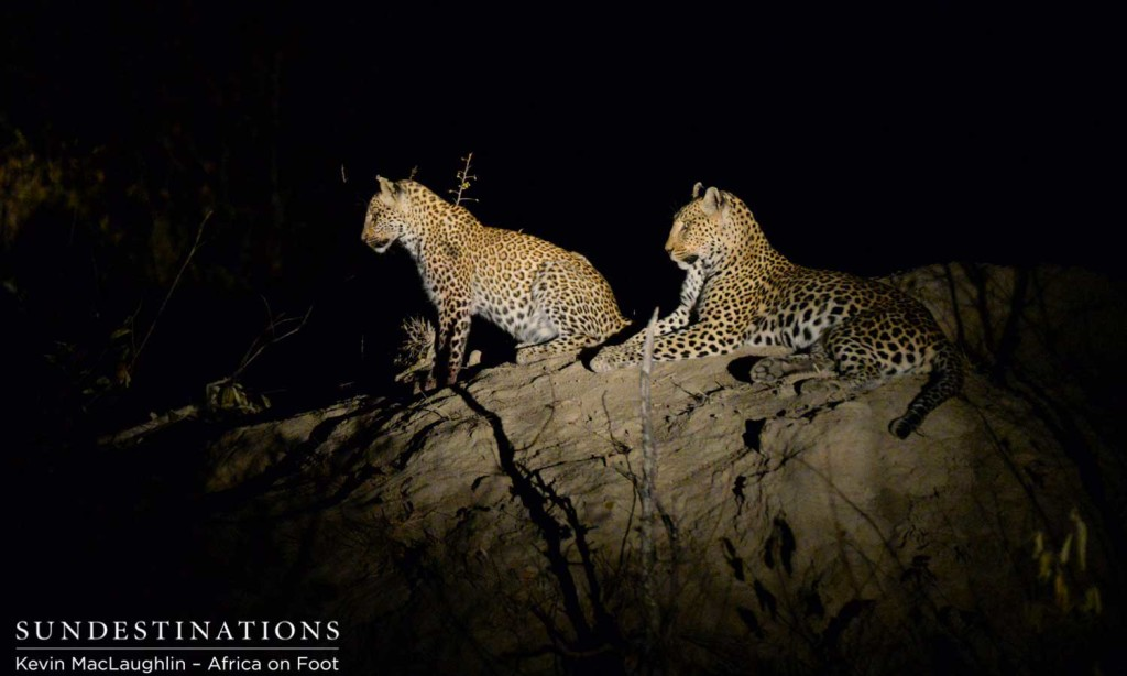 Leopard and cub alert to hyenas