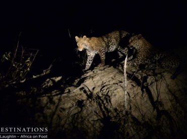 It was one of those nights in the Klaserie when all of a sudden the radioannounces something you've been hoping for. After locating, losing, and relocating a female leopard in a drainage line area, teams at Africa on Foot and nThambo Tree Camp were beginning to lose hope, until Matt's excited yet controlled voice issued […]