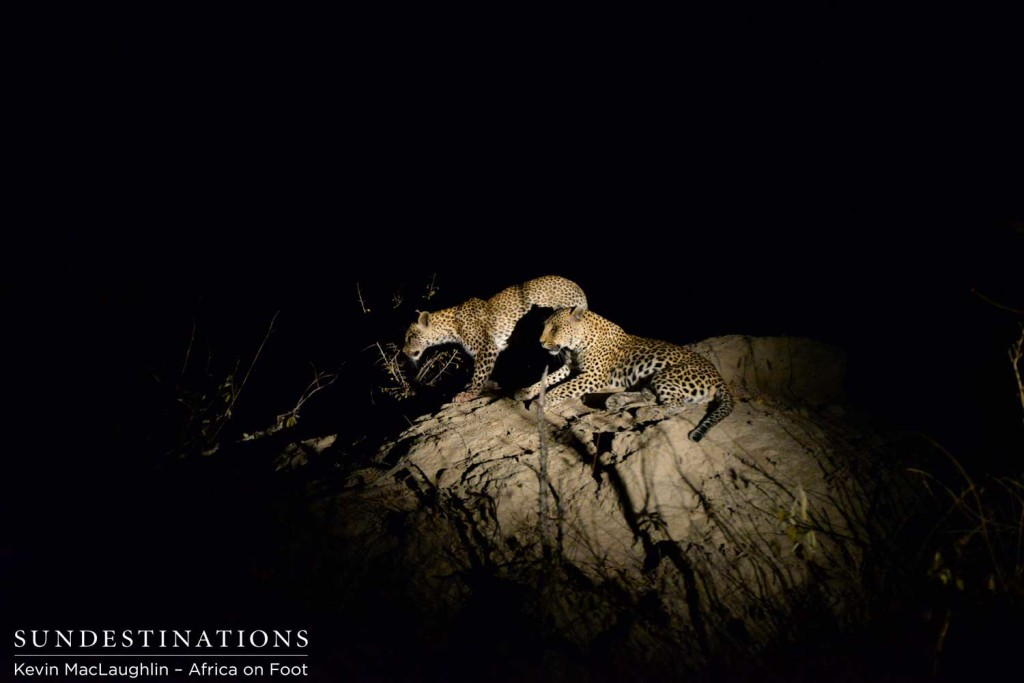 Cub moving off the termite mound