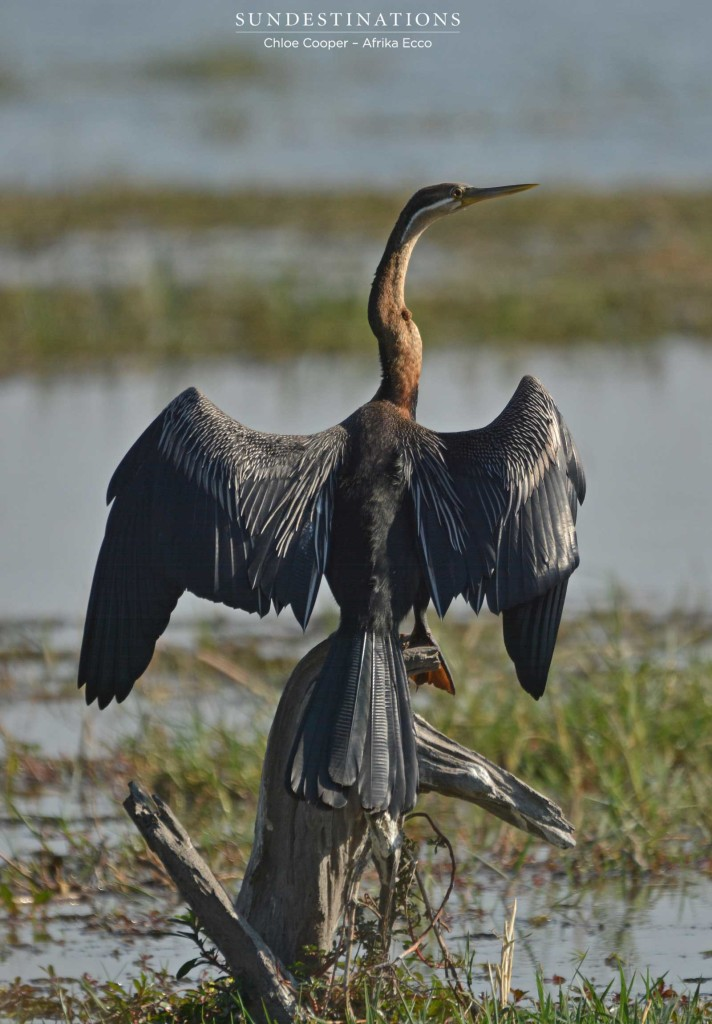 African darter drying its wings