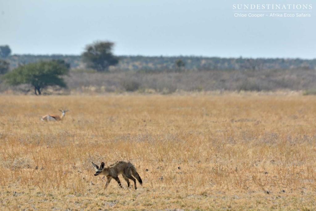 Bat-eared fox with springbok