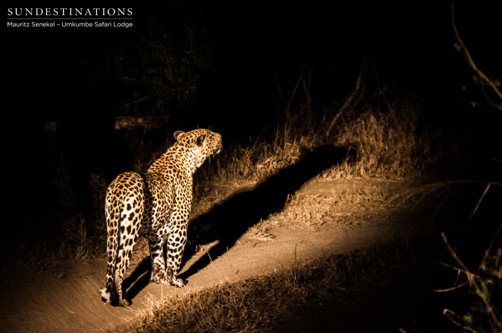 Bicycle Crossing male leopard