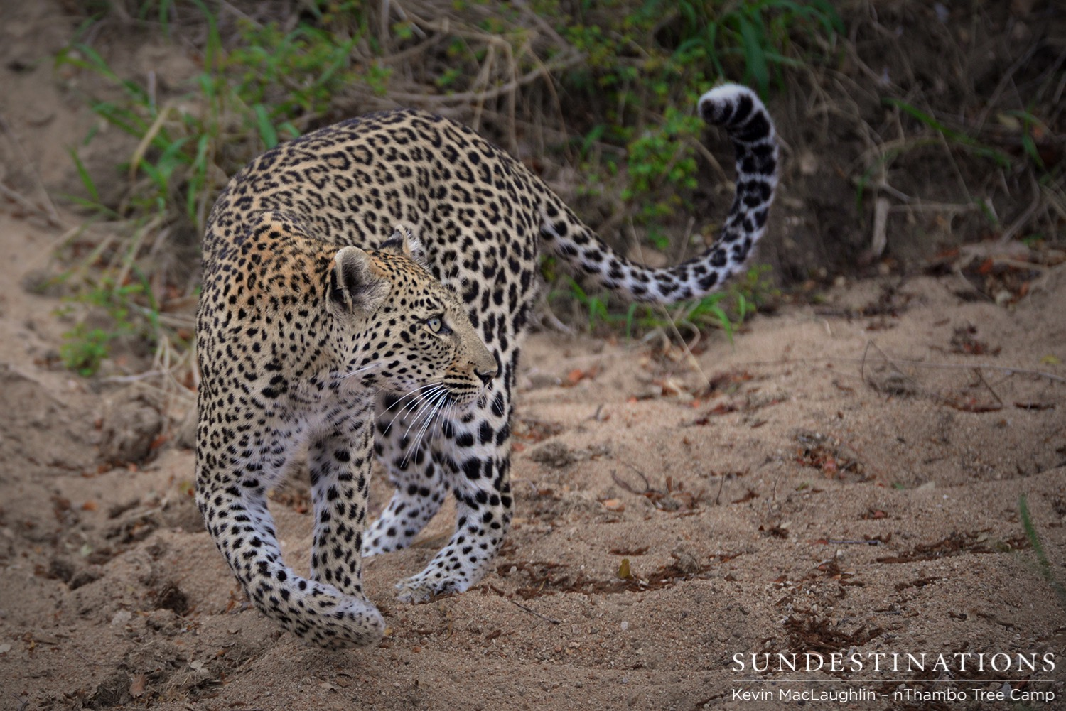 Leopards Galore at Africa on Foot and nThambo Tree Camp!