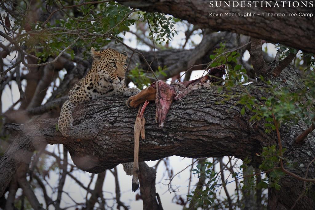 Female leopard guards her impala kill in a tree