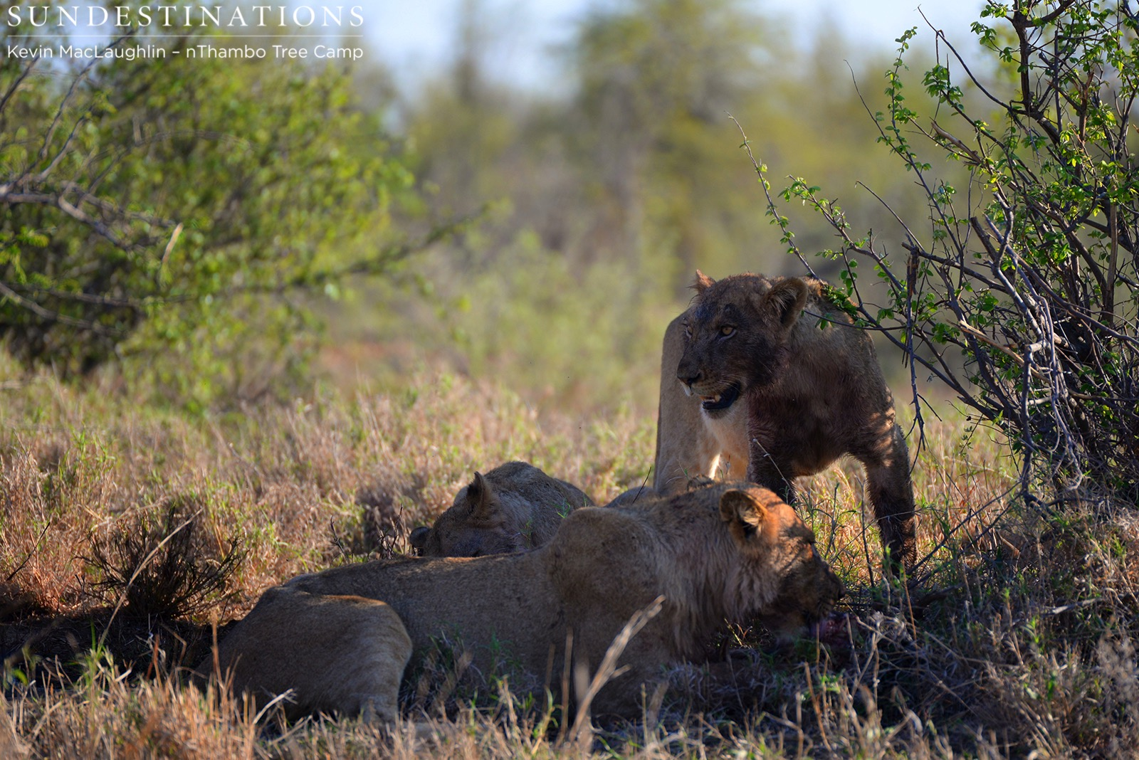 The Ross Pride lions share a warthog