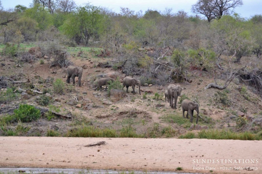 Elephants approaching the riverbank