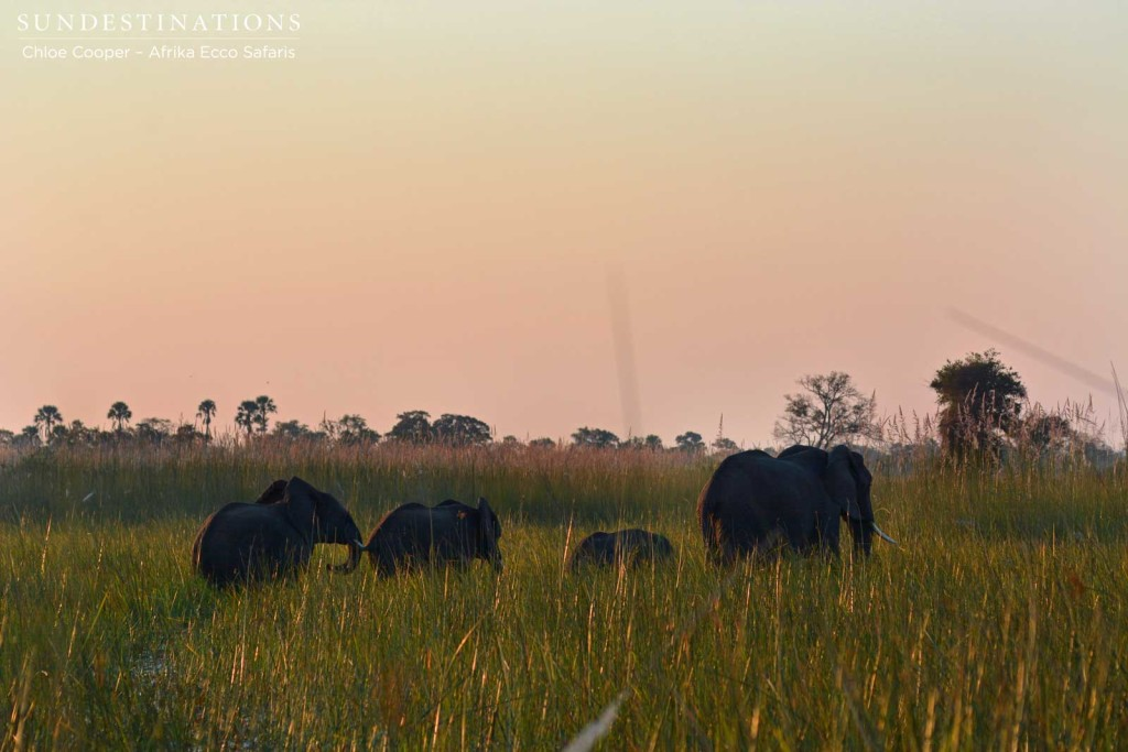 Elephant herd crossing the reeds ahead of mokoros
