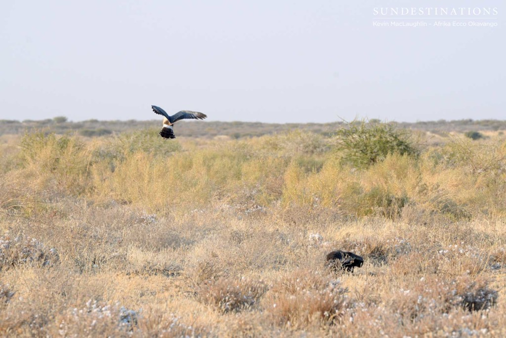 Goshawk flying above the honey badger looking for prey
