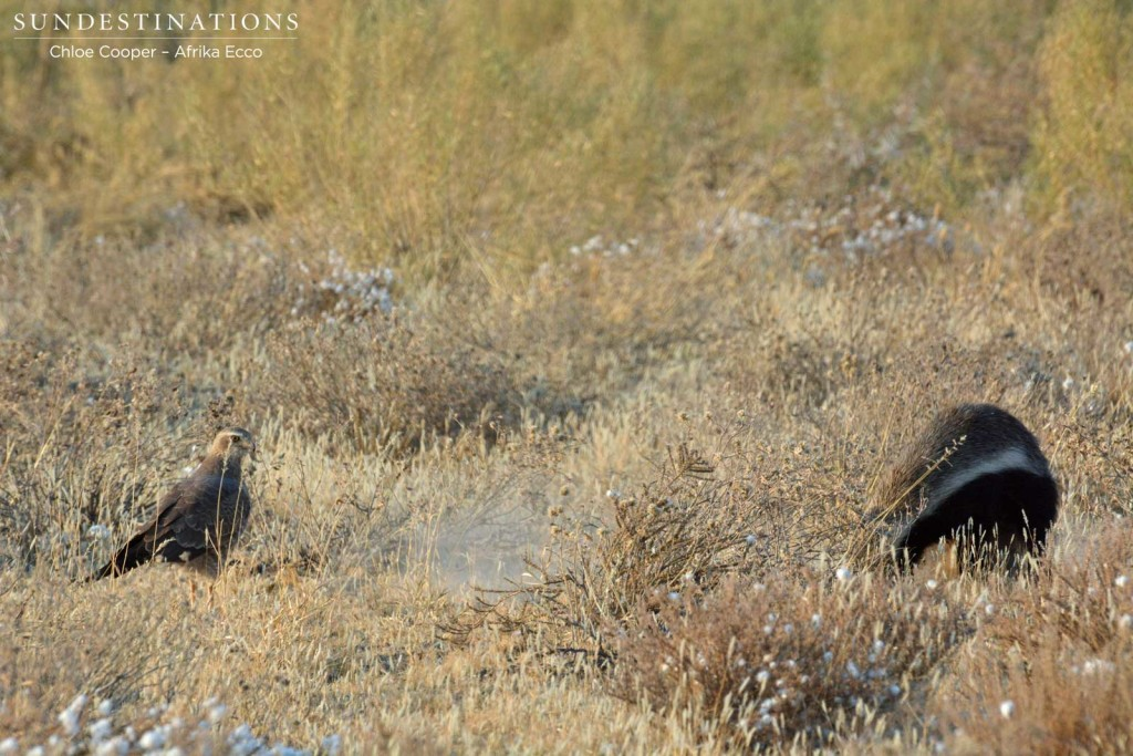 Honey badger digging for prey while goshawk waits to feed