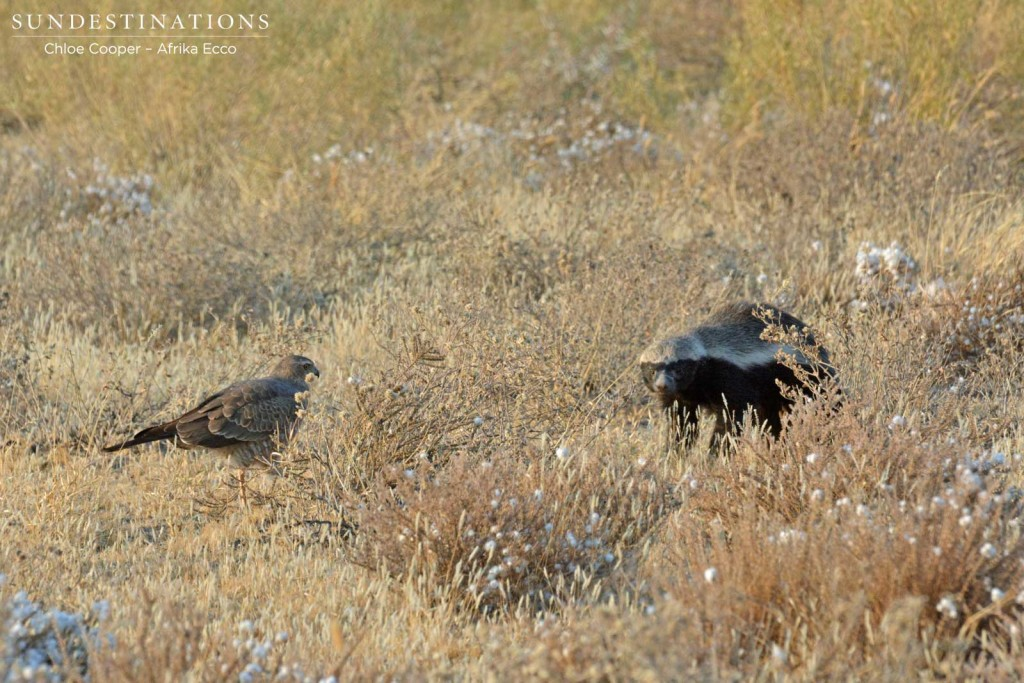 Honey Badger foraging in CKGR with pale-chanting goshawk following
