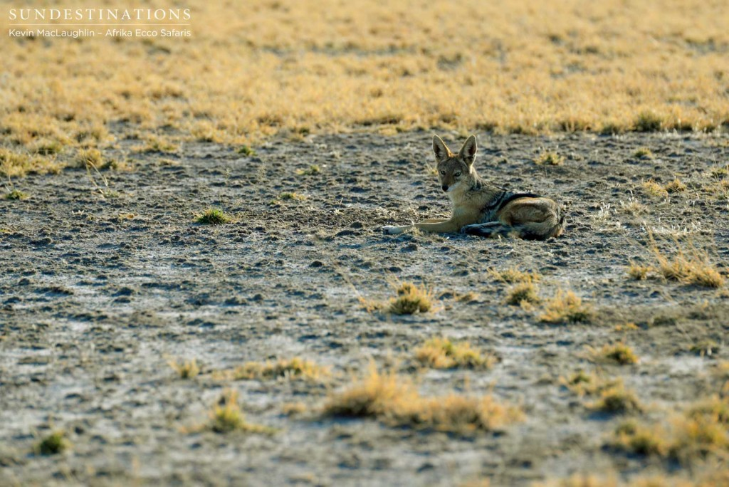Resting jackal in the CKGR
