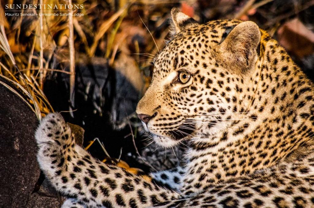 Kigelia leopard cub