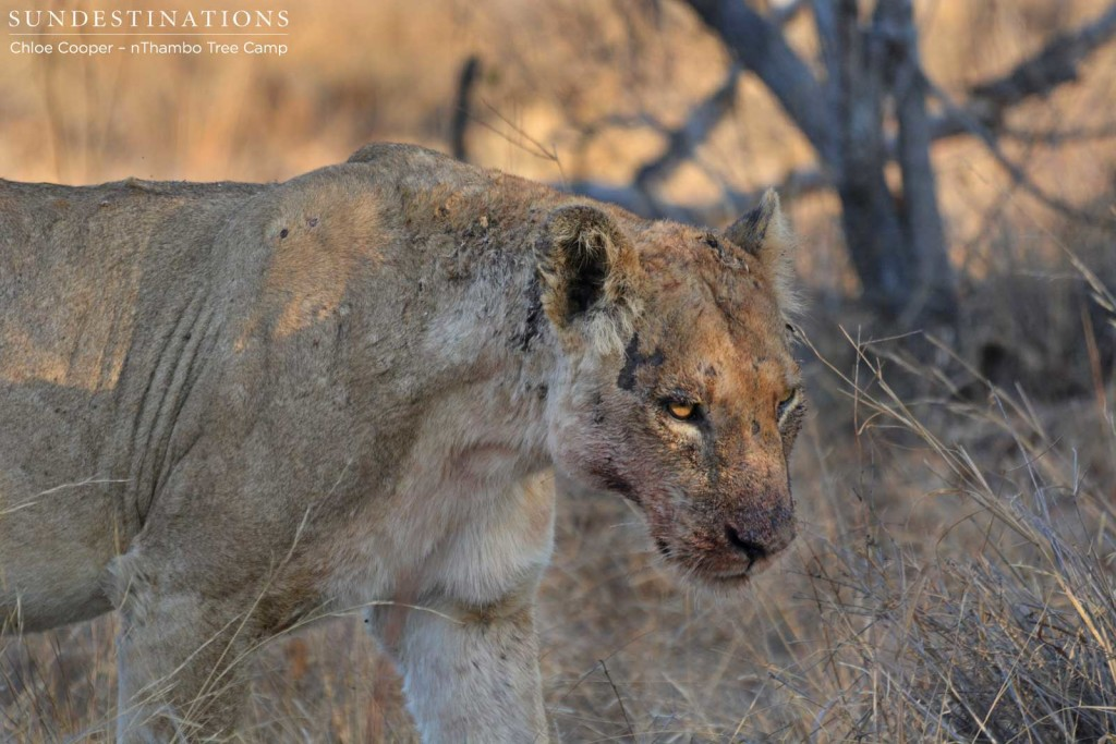 Third lioness joins the group and is determined to feed off the carcass