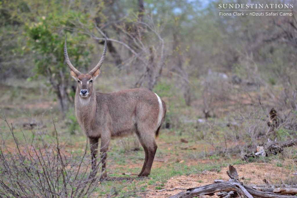 Male waterbuck looking proud