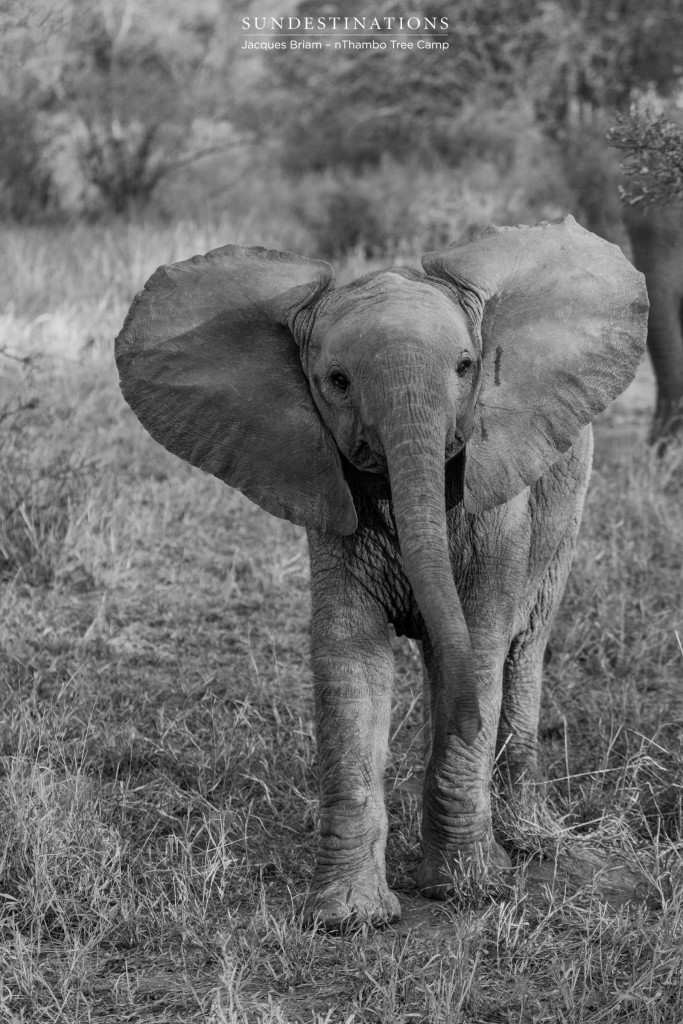 Baby elephant in black and white