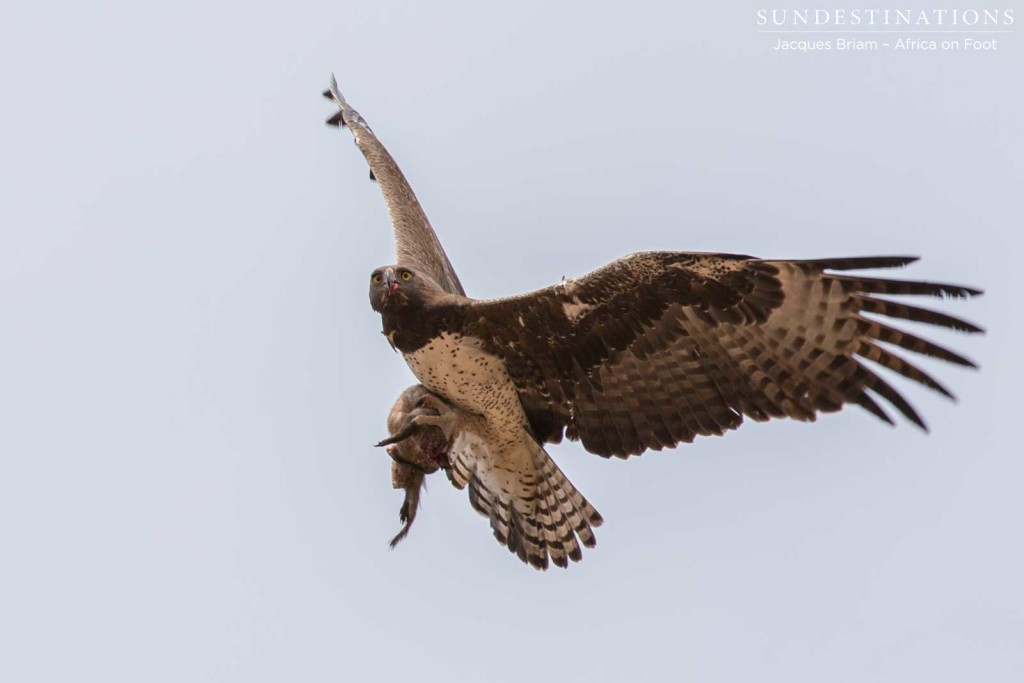 Black-chested snake eagle with its prey in its clutches