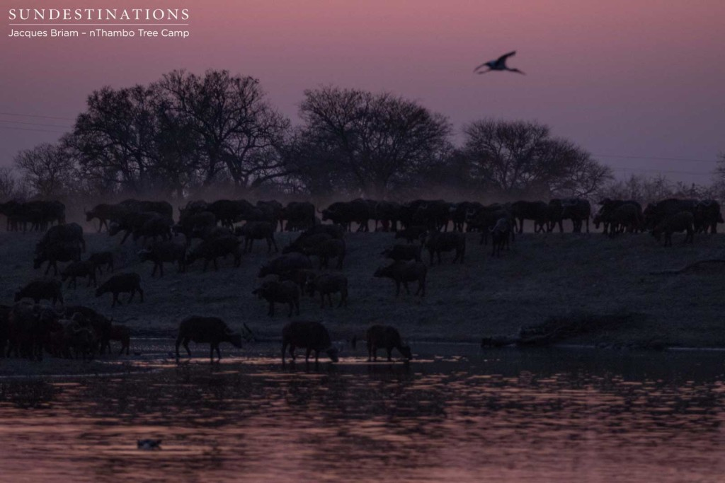 Dusk brings the purple tint out of the sunset as buffalo arrive to drink
