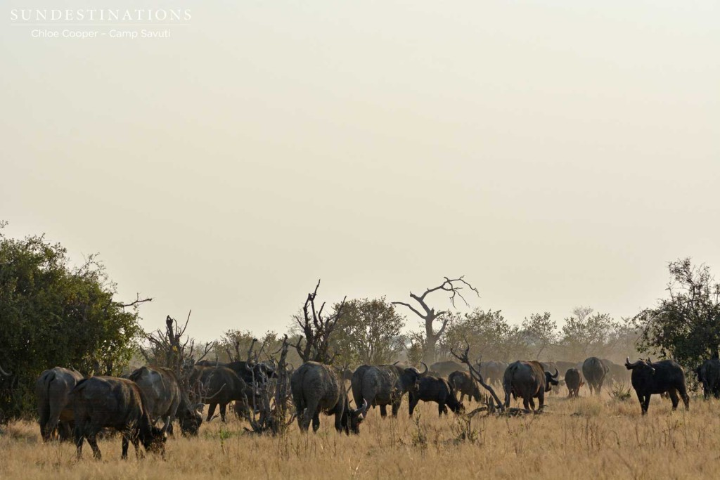 Buffalo herd in Savuti