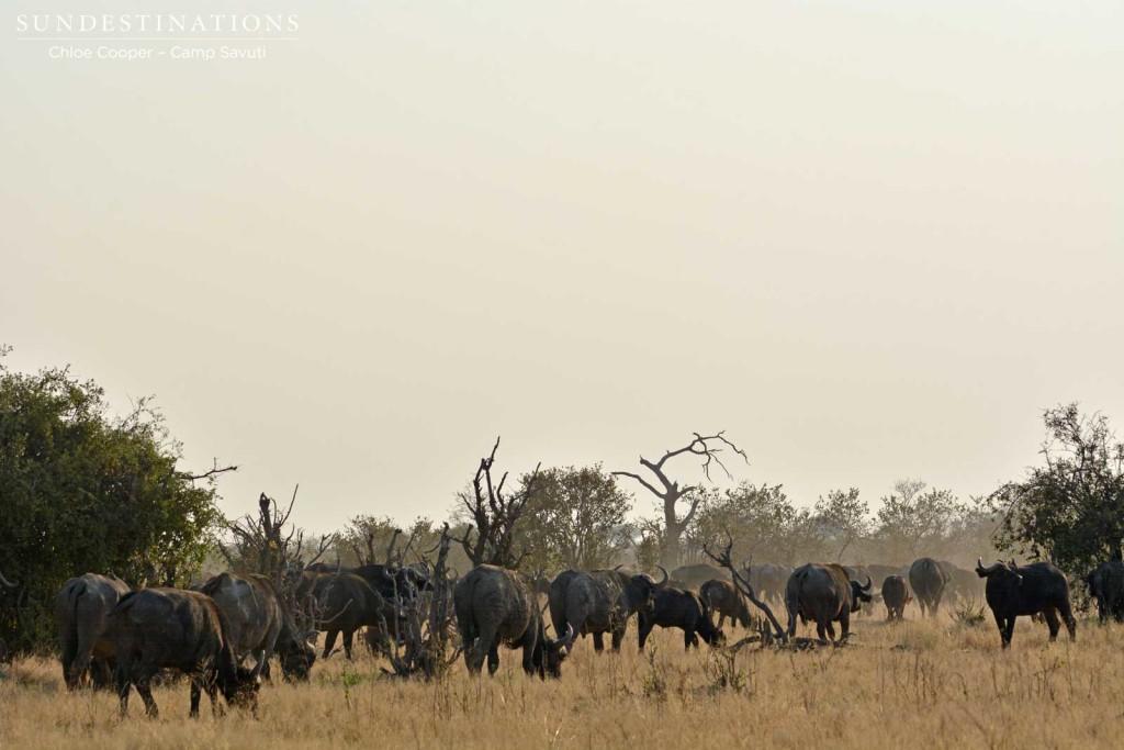 Buffalo herd in Savuti