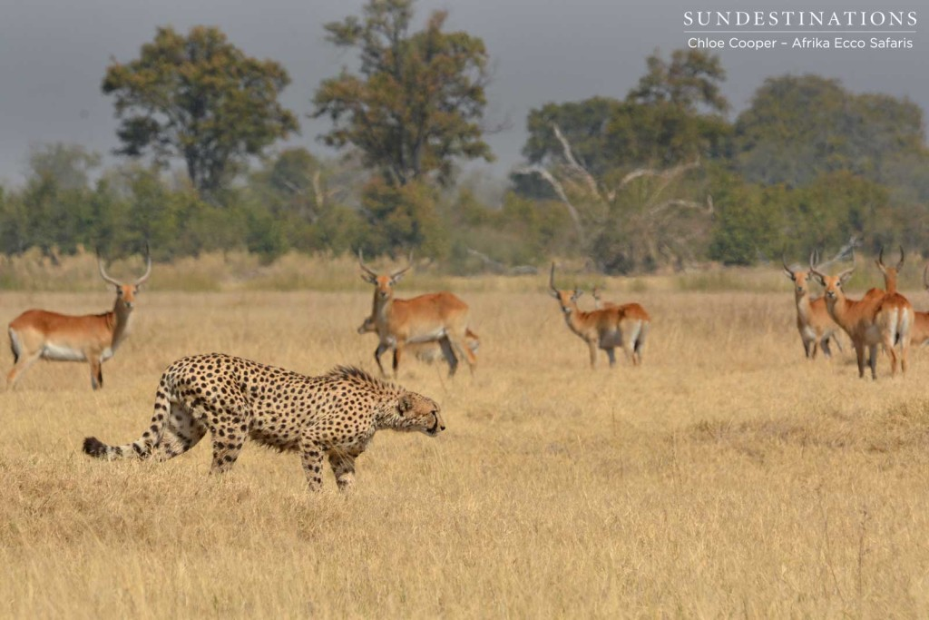 Cheetah heading for the shade