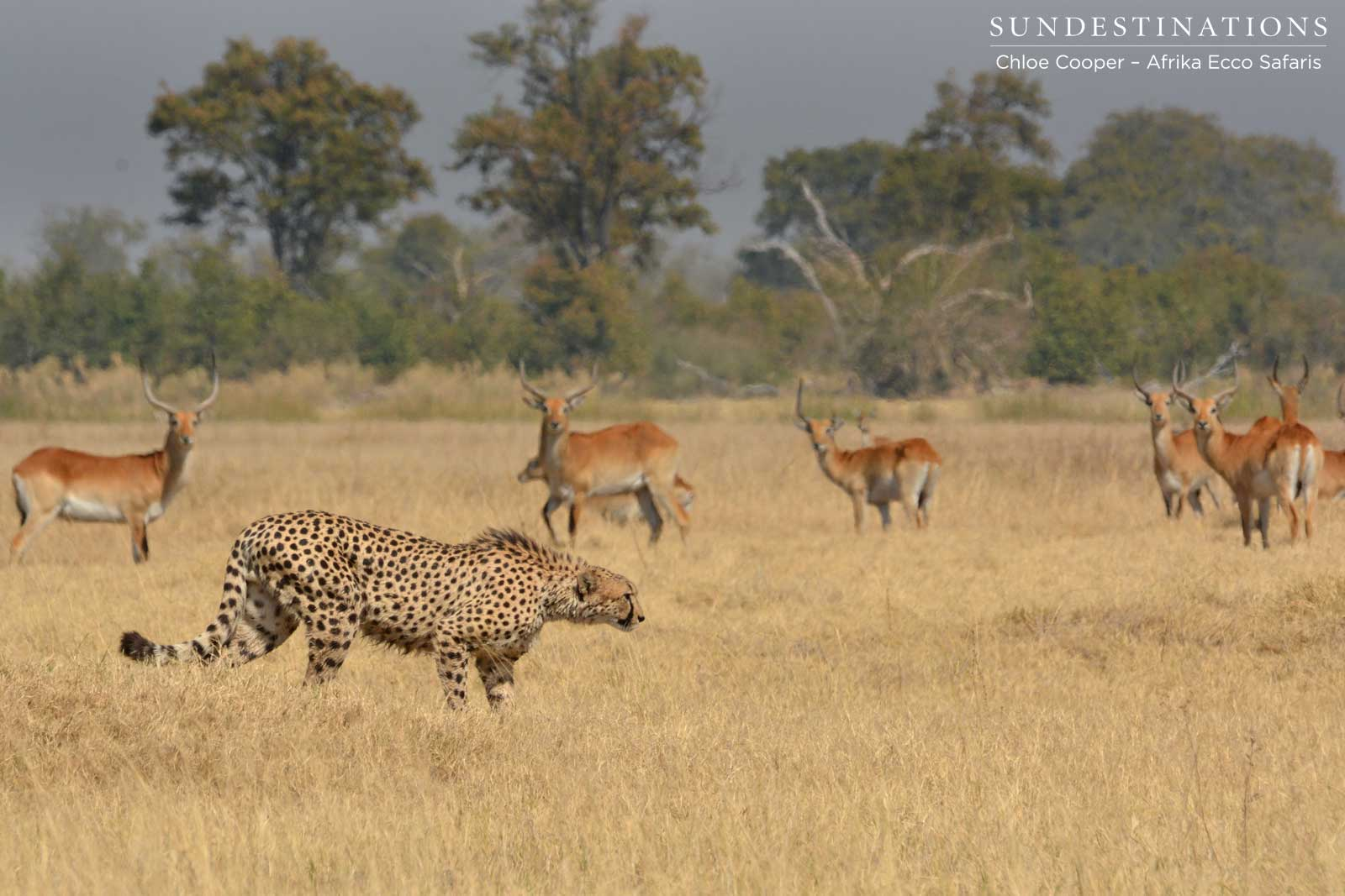 Cheetah stalks lechwe in Moremi Game Reserve