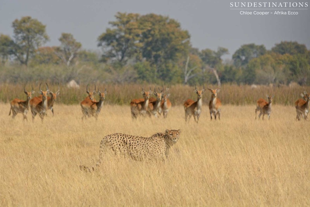 Cheetah giving up the stalk at Duma Tau, Moremi Game Reserve