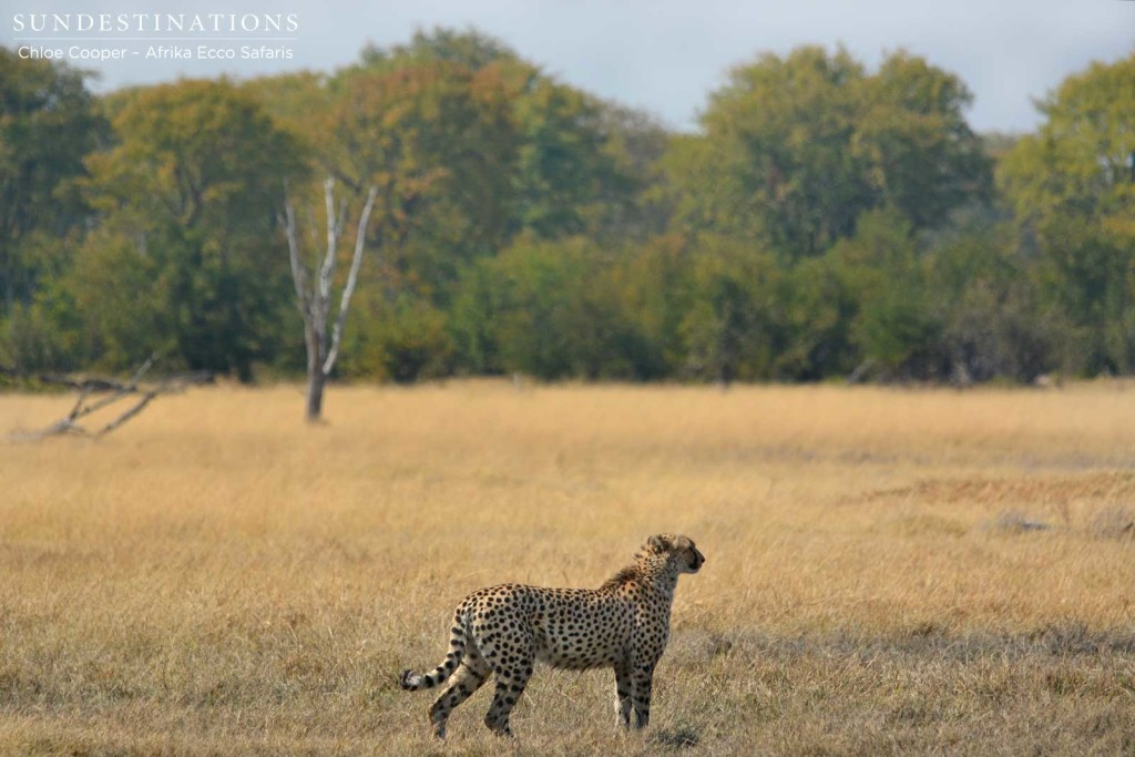 Cheetah surveying his surrounds
