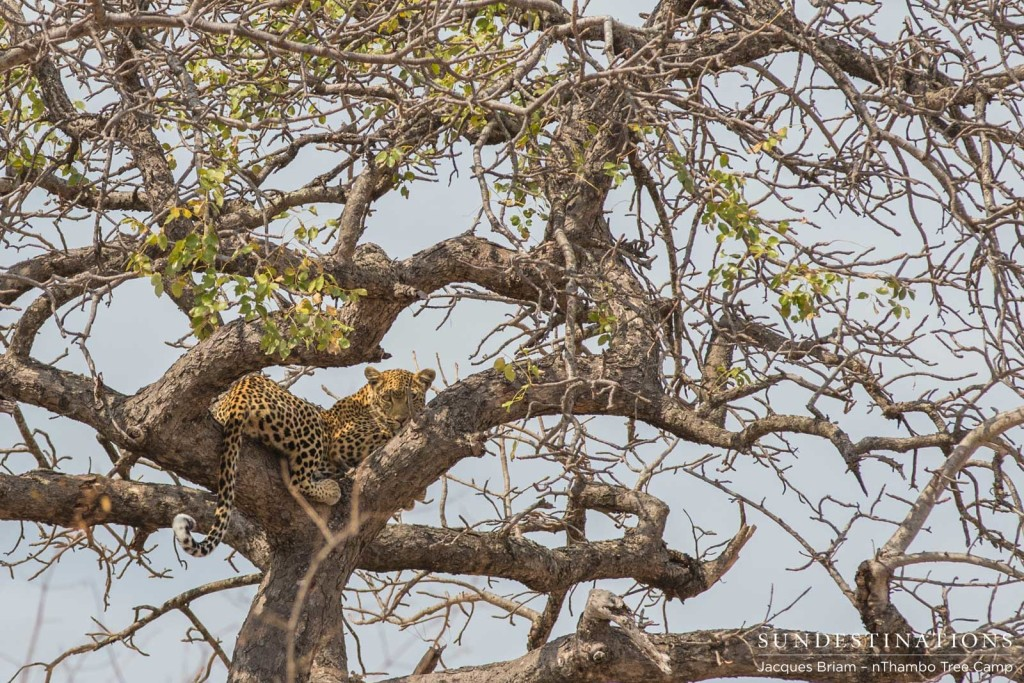A young female leopard looks down at nThambo guests from her tree