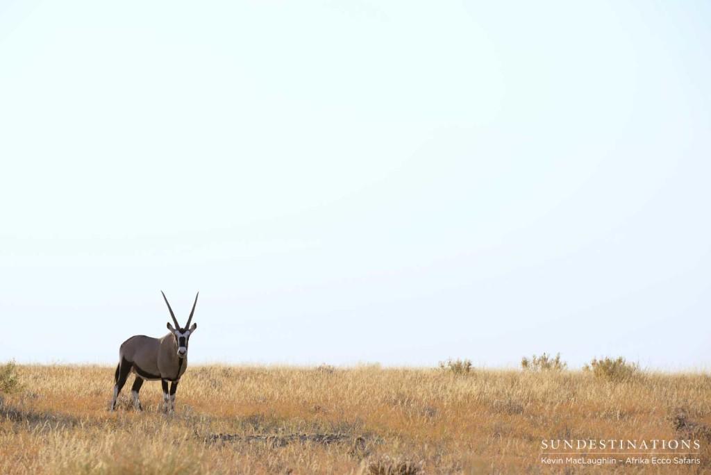 Iconic gemsbok