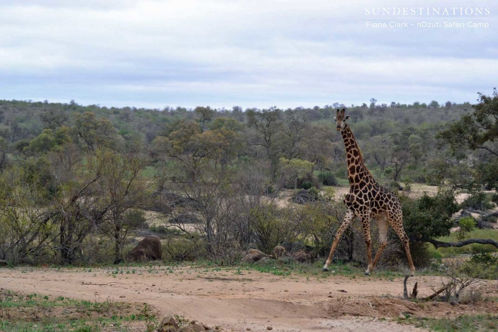 A giraffe on the cloudy landscape