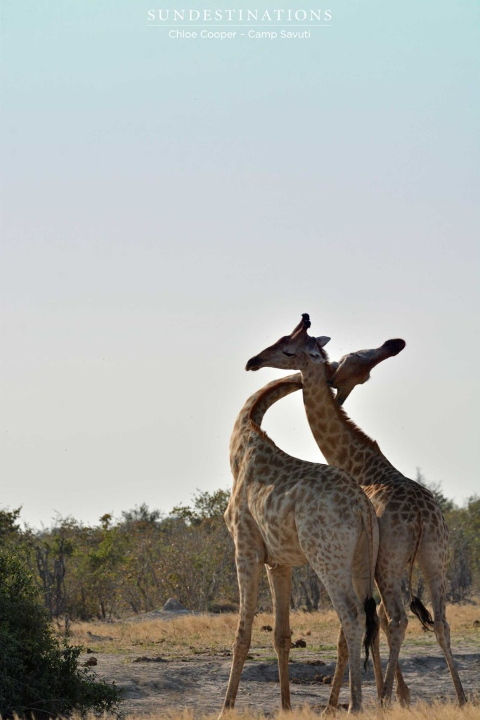 A pair of bull giraffes engage in a dominance display called 'necking'