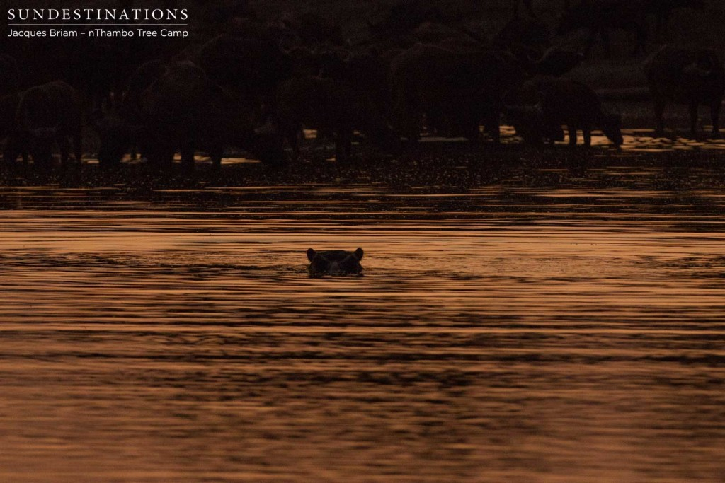 Hippo emerges ever so slightly at sunset