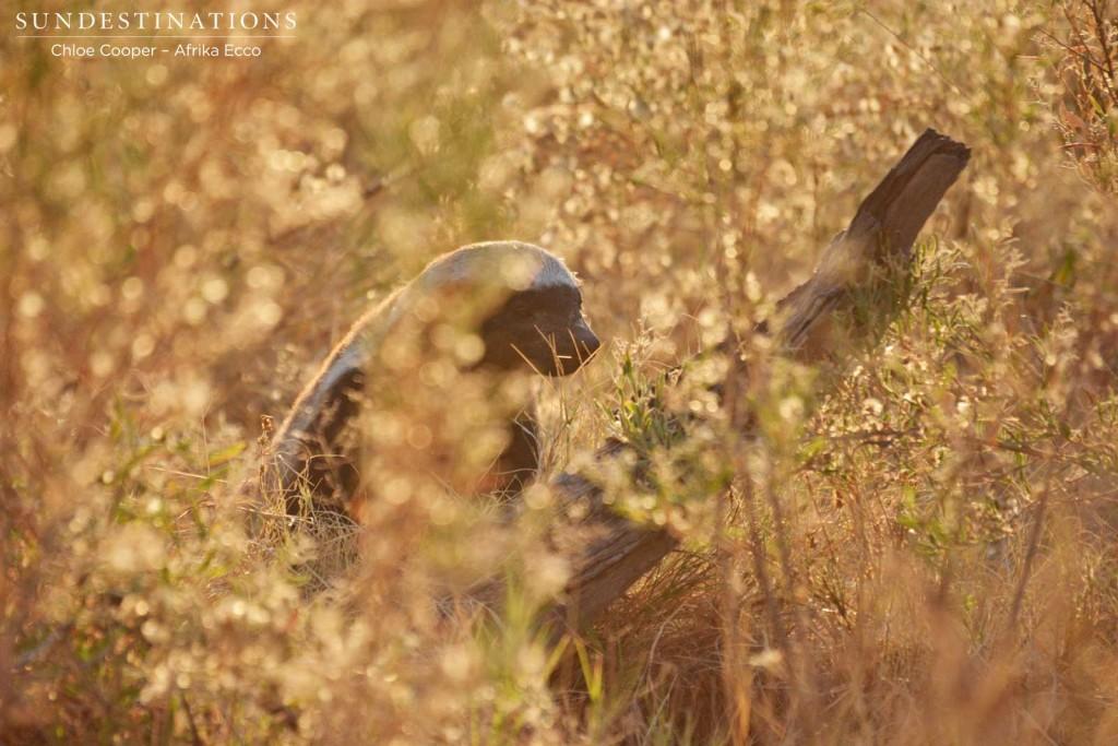 Honey badger in the morning light