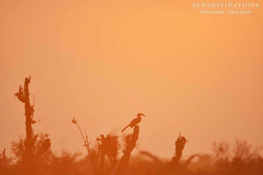 A hornbill takes in the sunset from its perch