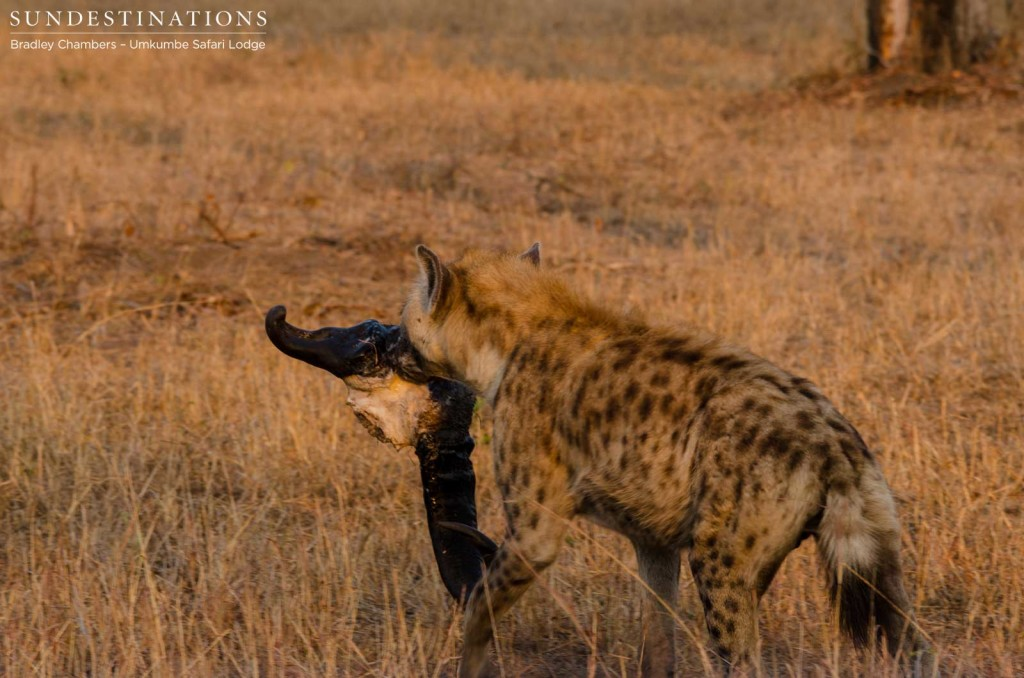 Hyena makes a break for it with a buffalo skull in tow