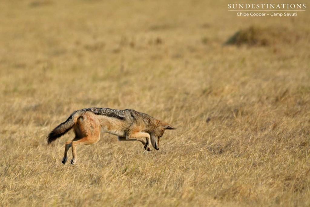Pouncing jackal in Savute Marsh
