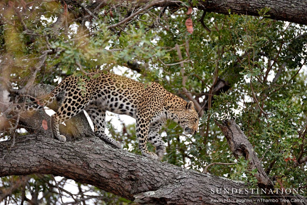 Leopard walking a branch